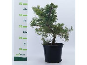 Abies concolor ´Violacea´