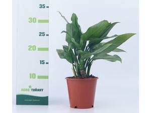 Aglaonema ´Mix´