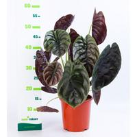Alocasia cu red secret